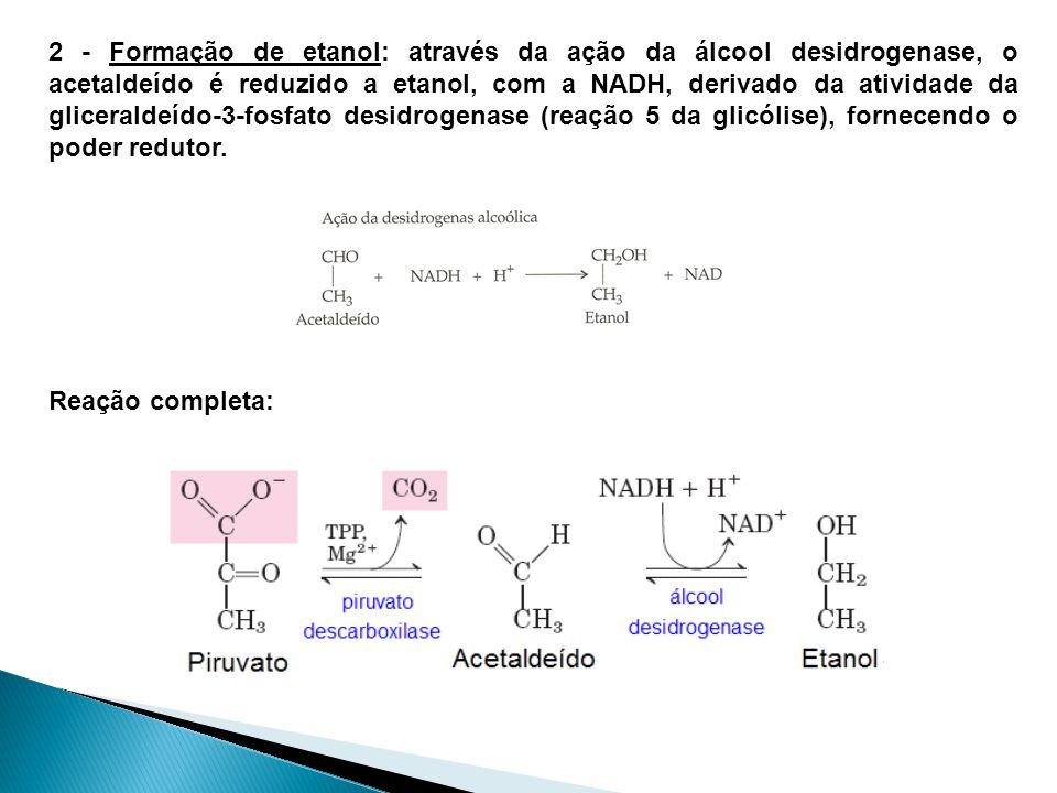 2 - Formação de etanol: através da ação da álcool desidrogenase, o acetaldeído é reduzido a etanol, com a NADH, derivado da atividade da gliceraldeído-3-fosfato desidrogenase (reação 5 da glicólise), fornecendo o poder redutor.