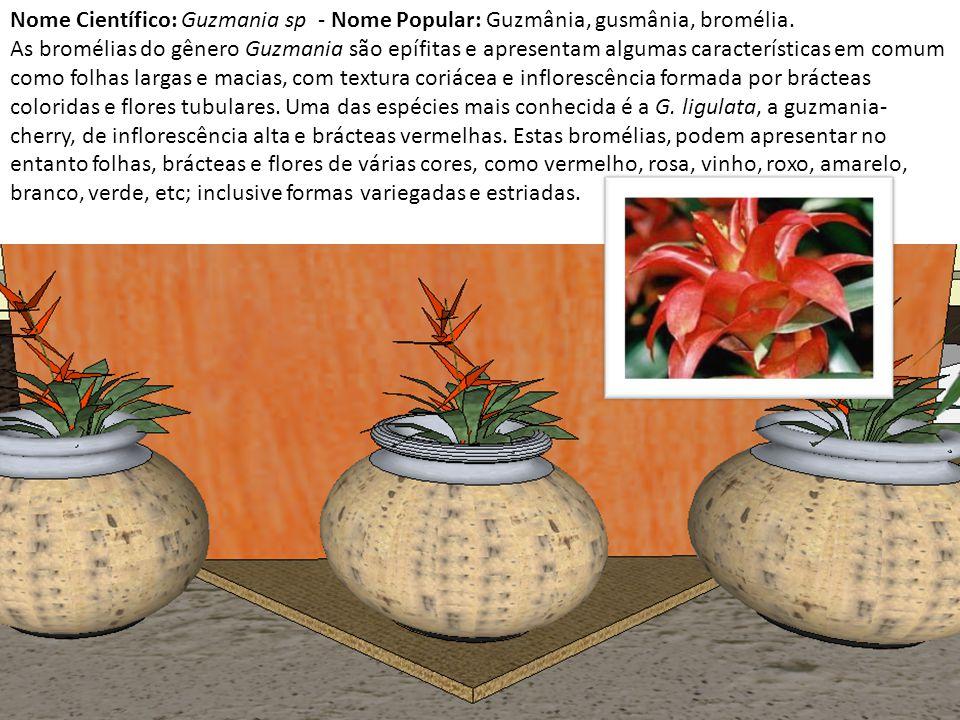 Nome Científico: Guzmania sp - Nome Popular: Guzmânia, gusmânia, bromélia.