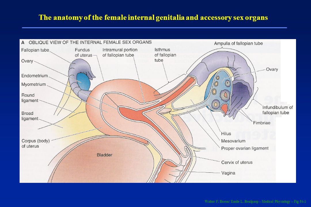 Anatomy of the female genitalia