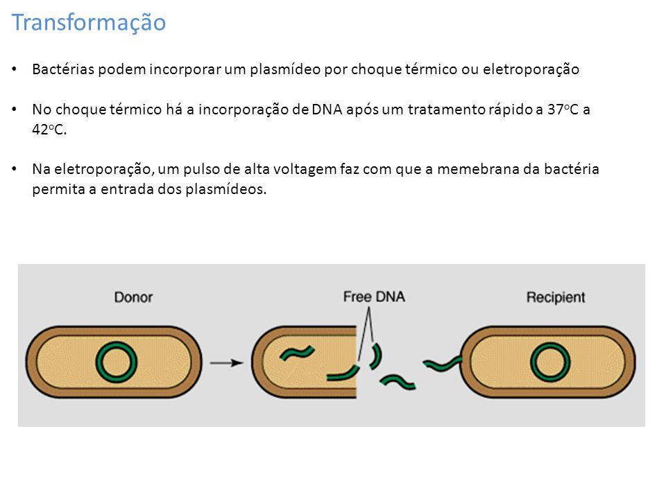 Transformação Bactérias podem incorporar um plasmídeo por choque térmico ou eletroporação.