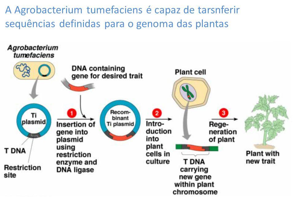 A Agrobacterium tumefaciens é capaz de tarsnferir sequências definidas para o genoma das plantas