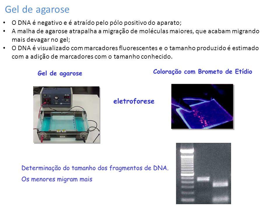 Gel de agarose O DNA é negativo e é atraído pelo pólo positivo do aparato;