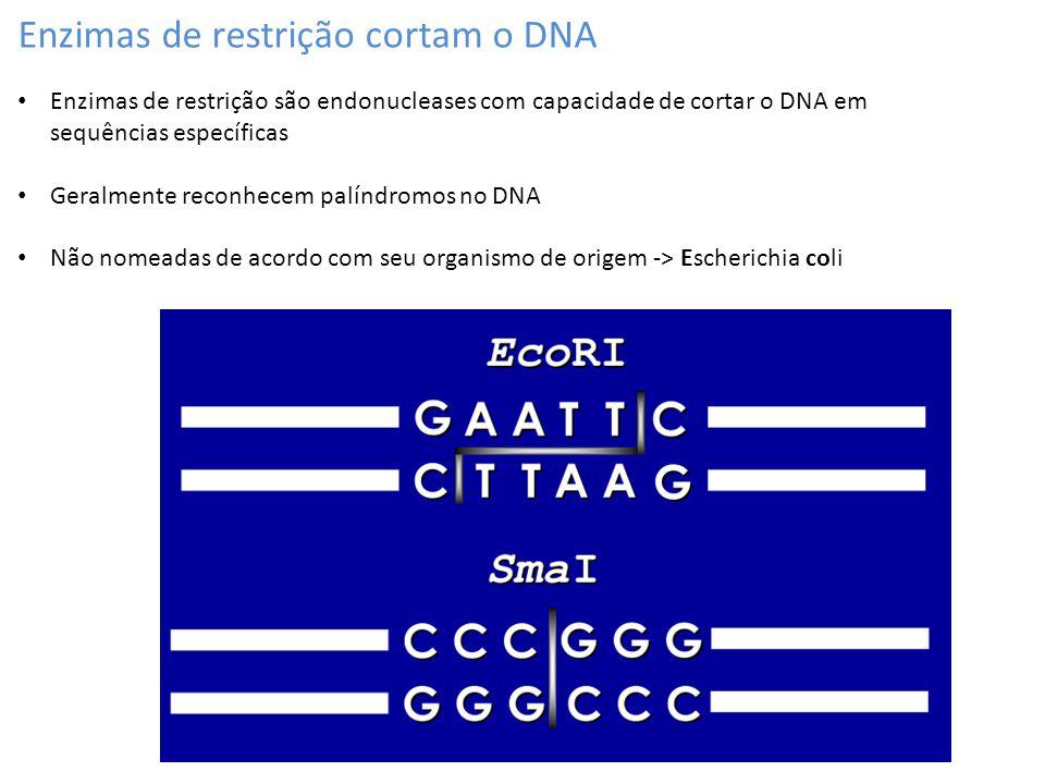 Enzimas de restrição cortam o DNA