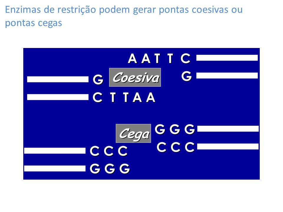 Enzimas de restrição podem gerar pontas coesivas ou pontas cegas