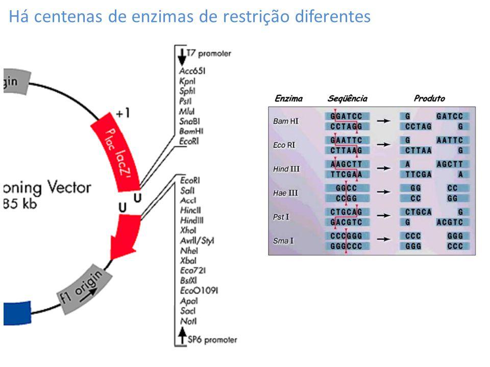 Há centenas de enzimas de restrição diferentes