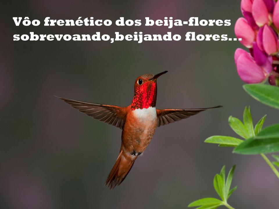 Vôo frenético dos beija-flores