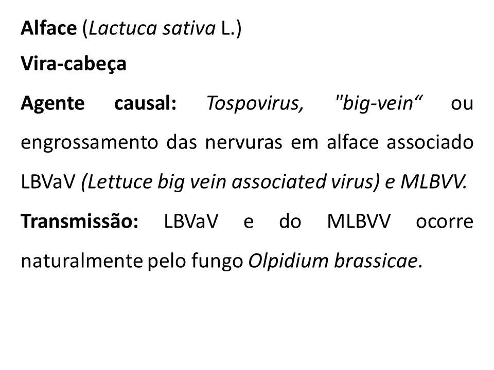 Alface (Lactuca sativa L.)