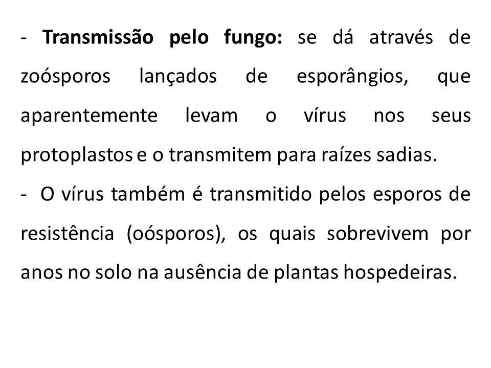 - Transmissão pelo fungo: se dá através de zoósporos lançados de esporângios, que aparentemente levam o vírus nos seus protoplastos e o transmitem para raízes sadias.