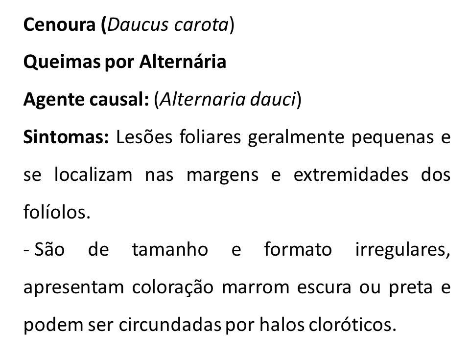 Cenoura (Daucus carota)