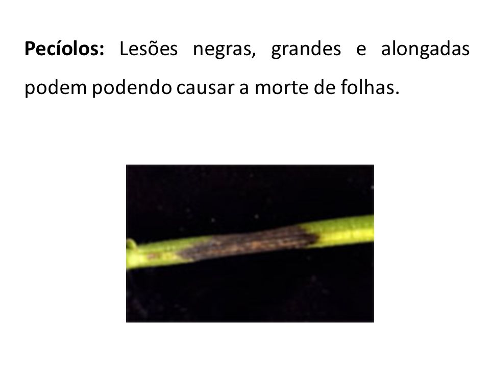 Pecíolos: Lesões negras, grandes e alongadas podem podendo causar a morte de folhas.
