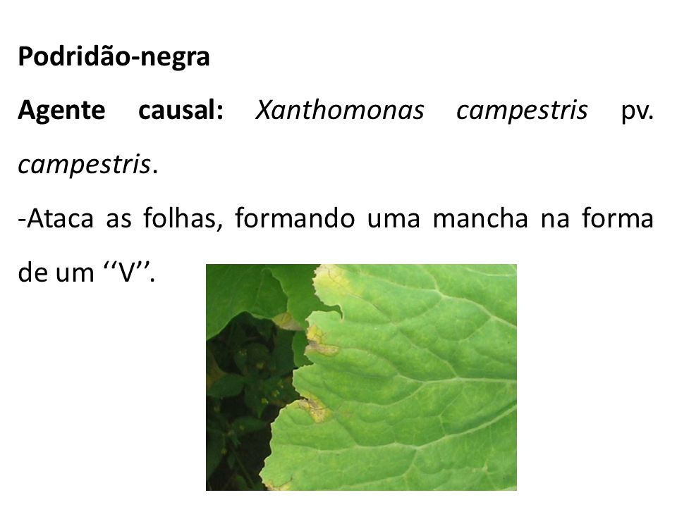 Podridão-negra Agente causal: Xanthomonas campestris pv.