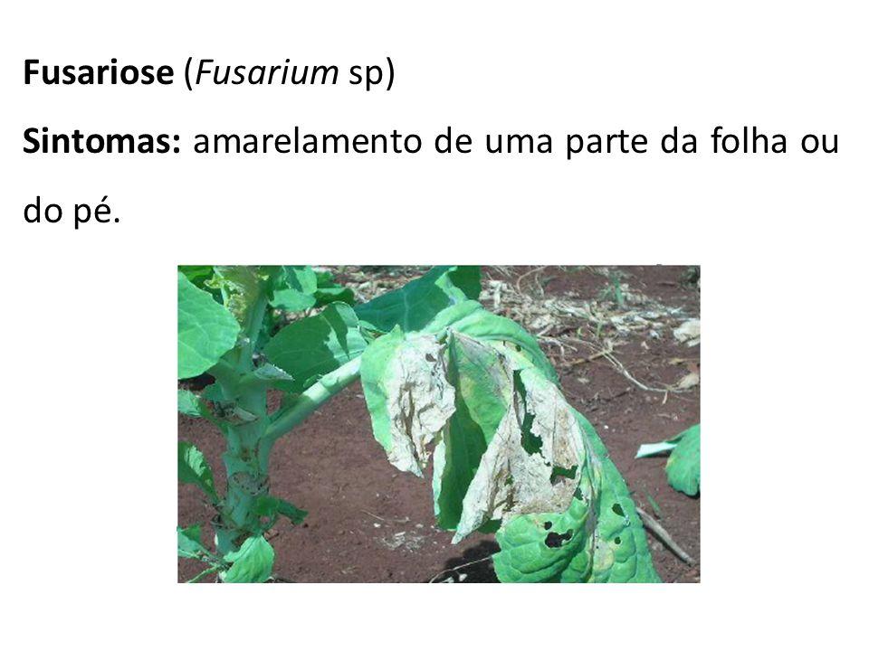 Fusariose (Fusarium sp)