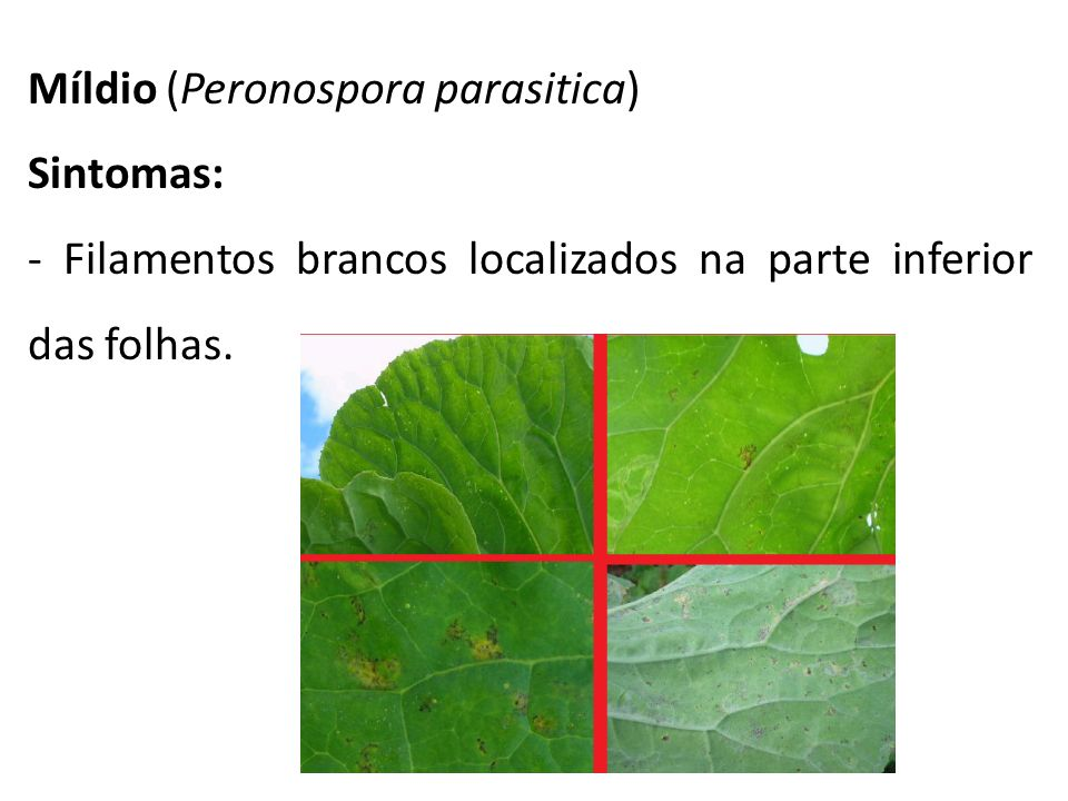 Míldio (Peronospora parasitica)