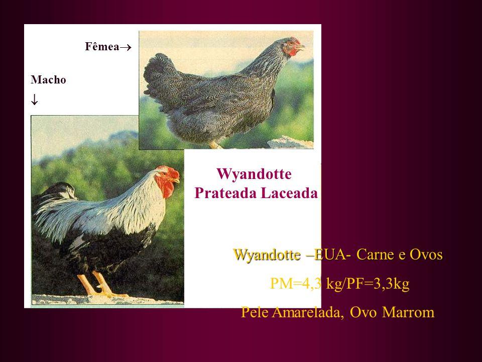 Wyandotte Prateada Laceada