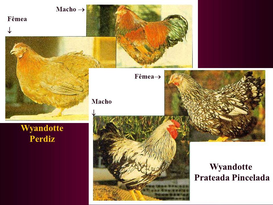Wyandotte Perdiz Wyandotte Prateada Pincelada