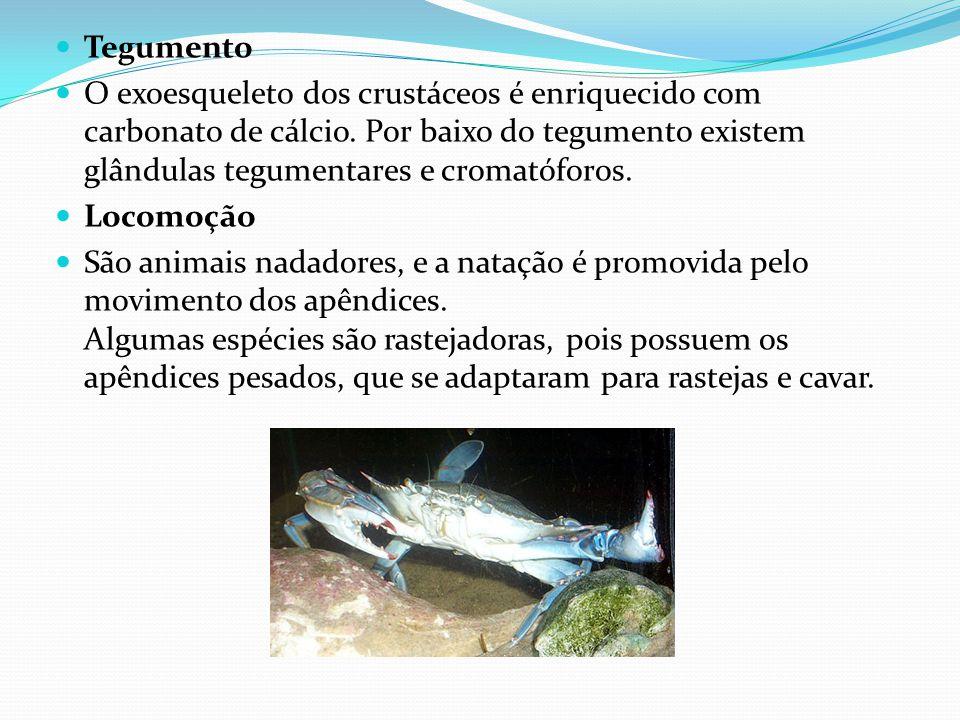 Tegumento O exoesqueleto dos crustáceos é enriquecido com carbonato de cálcio. Por baixo do tegumento existem glândulas tegumentares e cromatóforos.