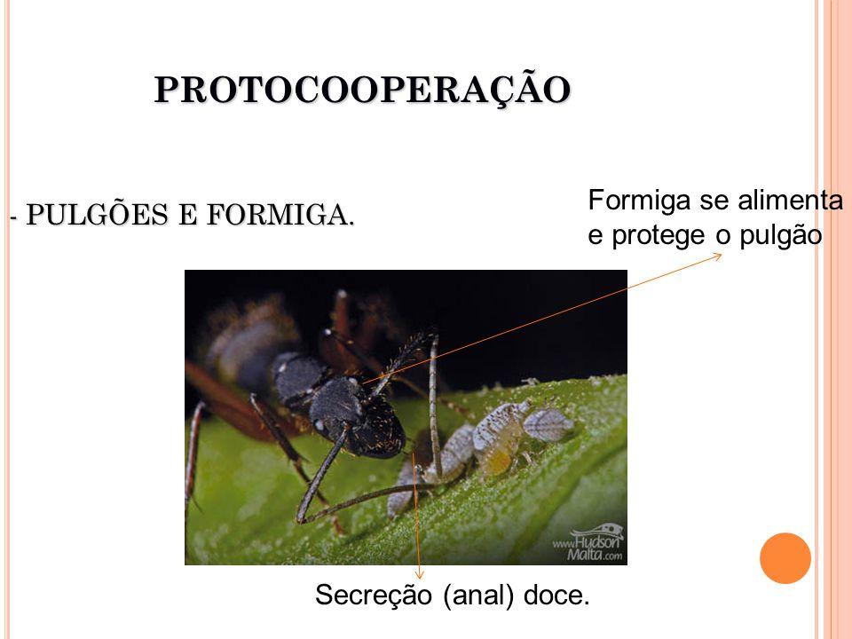 PROTOCOOPERAÇÃO Formiga se alimenta - PULGÕES E FORMIGA.