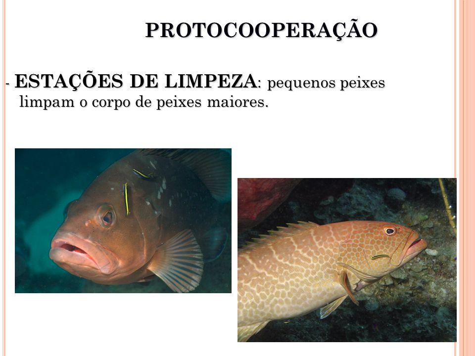 PROTOCOOPERAÇÃO - ESTAÇÕES DE LIMPEZA: pequenos peixes limpam o corpo de peixes maiores.