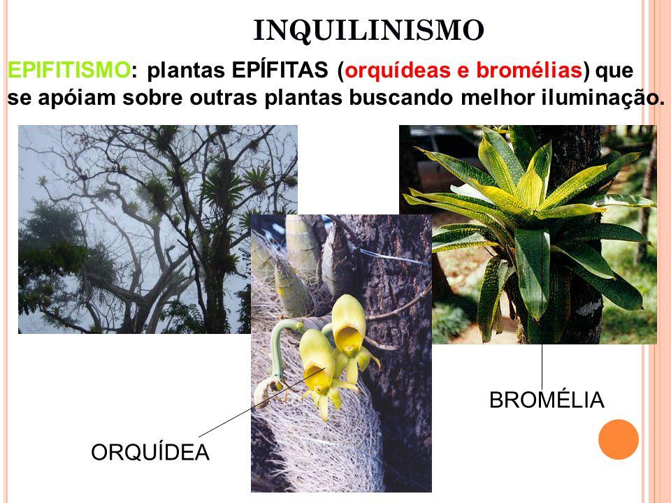 INQUILINISMO EPIFITISMO: plantas EPÍFITAS (orquídeas e bromélias) que