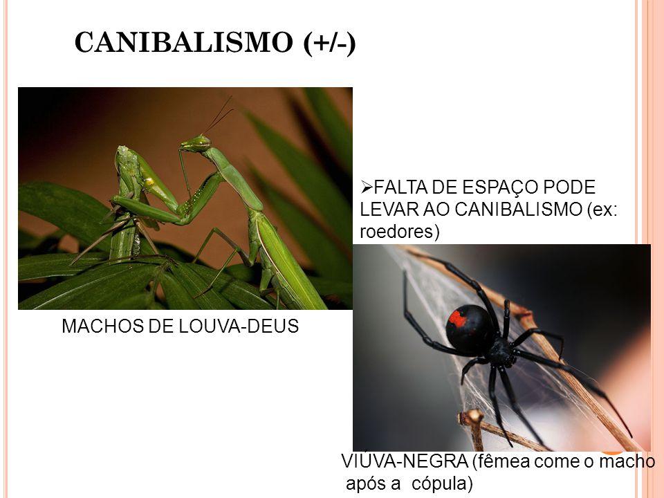 CANIBALISMO (+/-) FALTA DE ESPAÇO PODE LEVAR AO CANIBALISMO (ex: roedores) MACHOS DE LOUVA-DEUS. VIÚVA-NEGRA (fêmea come o macho.