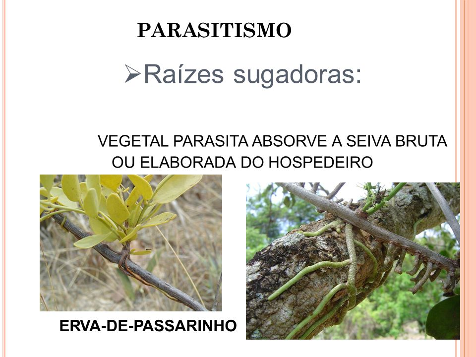 VEGETAL PARASITA ABSORVE A SEIVA BRUTA OU ELABORADA DO HOSPEDEIRO