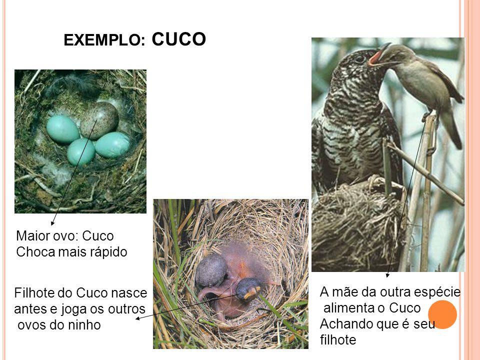 EXEMPLO: CUCO Maior ovo: Cuco Choca mais rápido Filhote do Cuco nasce