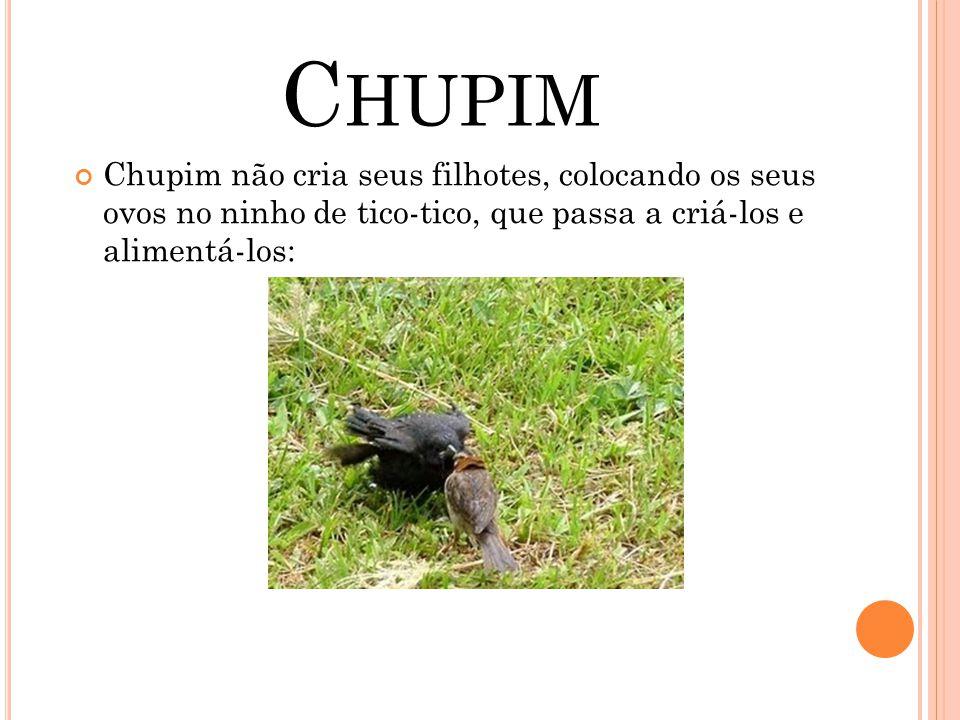 Chupim Chupim não cria seus filhotes, colocando os seus ovos no ninho de tico-tico, que passa a criá-los e alimentá-los: