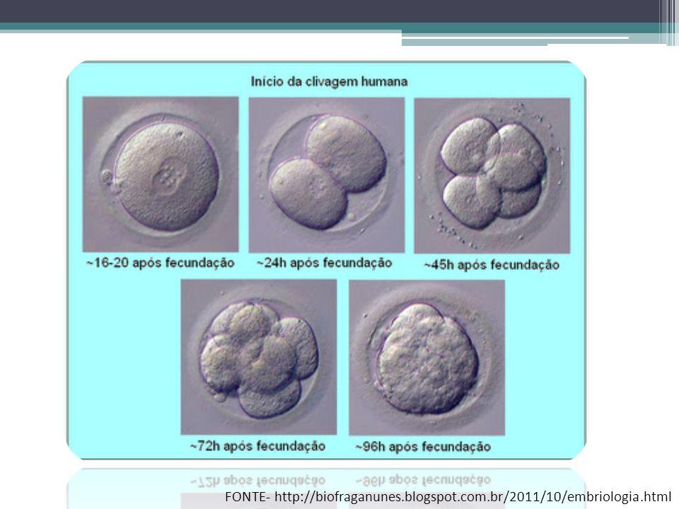 FONTE- http://biofraganunes.blogspot.com.br/2011/10/embriologia.html
