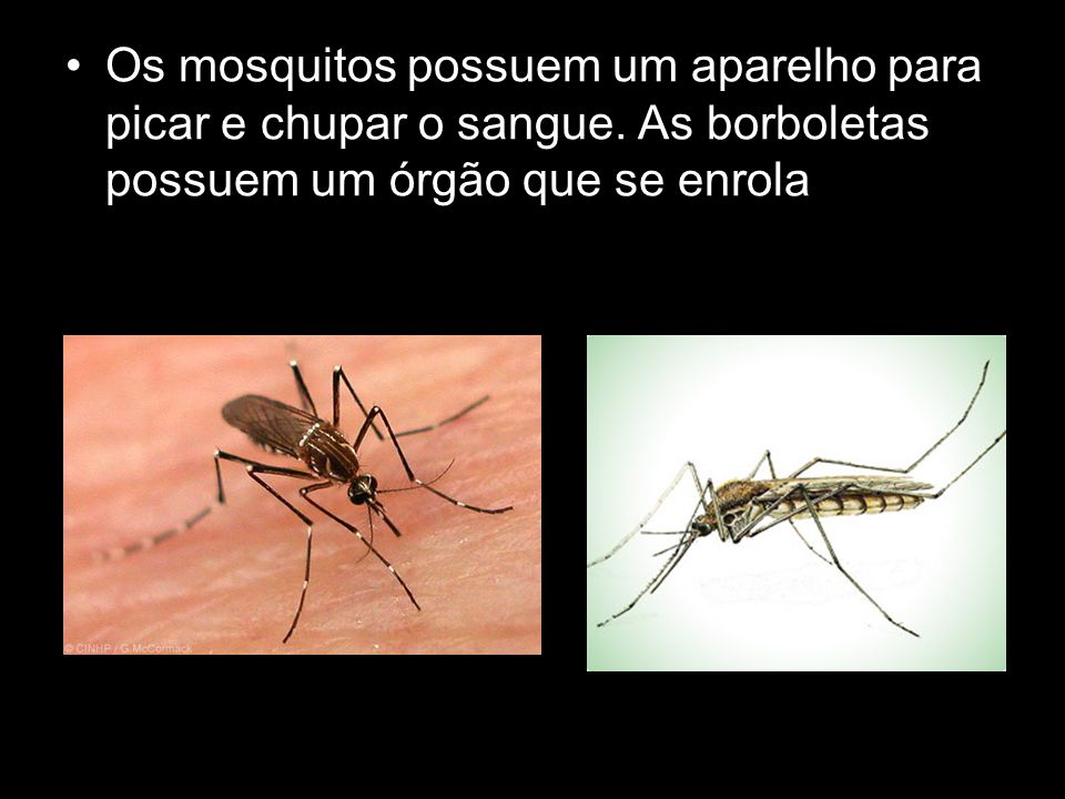 Os mosquitos possuem um aparelho para picar e chupar o sangue