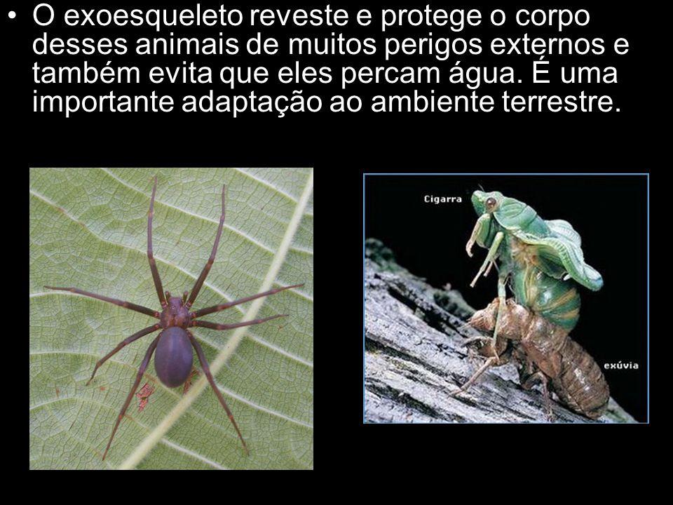 O exoesqueleto reveste e protege o corpo desses animais de muitos perigos externos e também evita que eles percam água.
