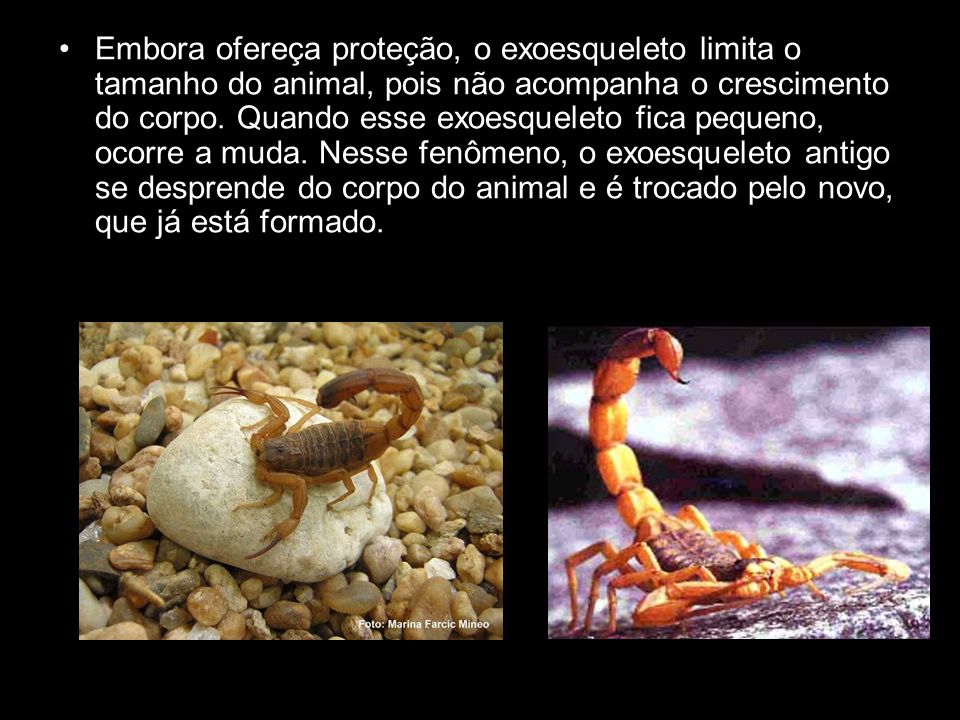 Embora ofereça proteção, o exoesqueleto limita o tamanho do animal, pois não acompanha o crescimento do corpo.