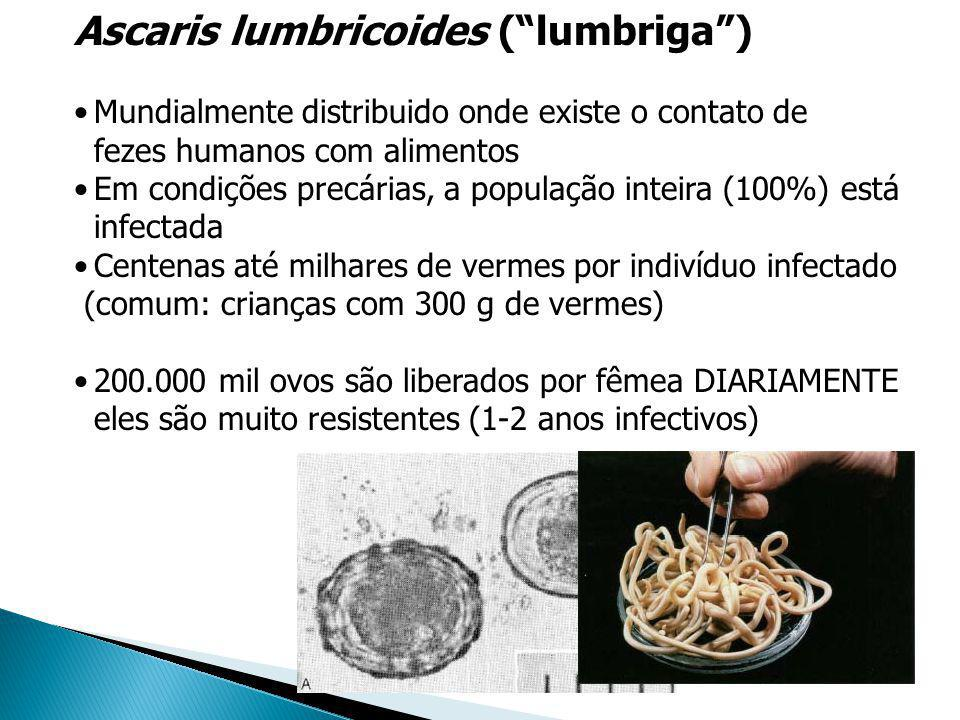 Ascaris lumbricoides ( lumbriga )