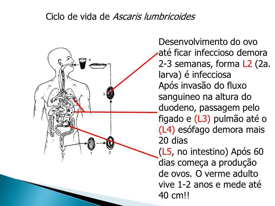 Ciclo de vida de Ascaris lumbricoides