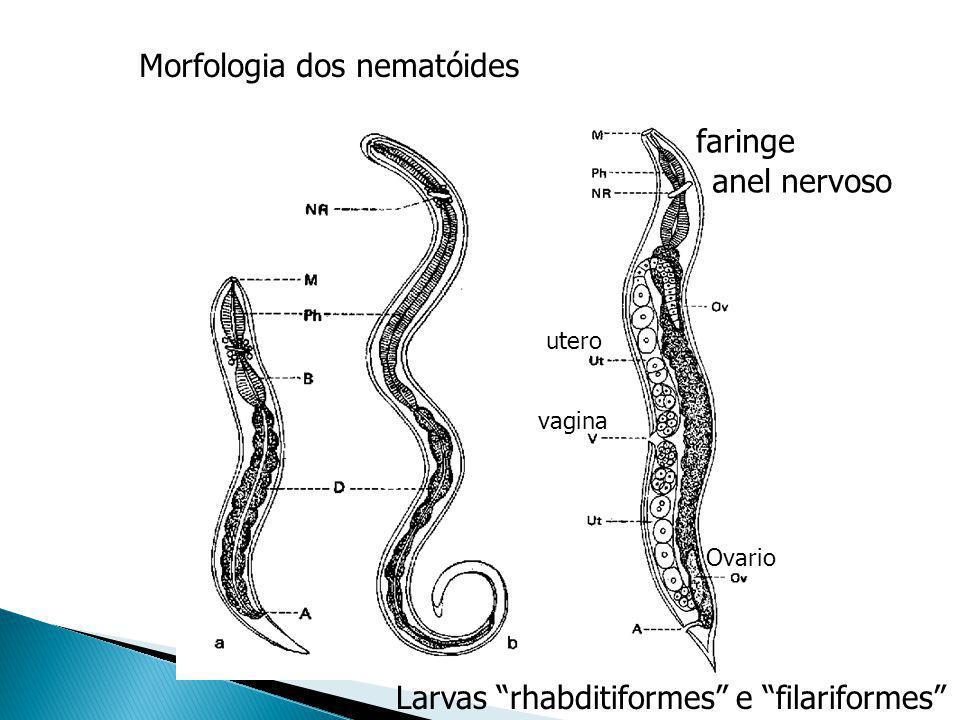 Morfologia dos nematóides