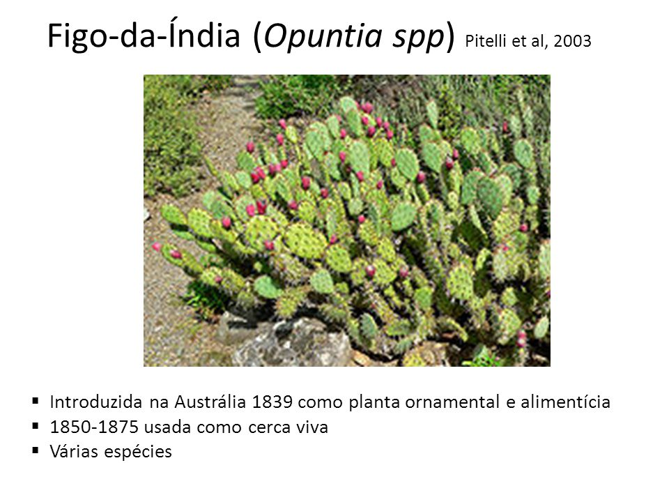Figo-da-Índia (Opuntia spp) Pitelli et al, 2003