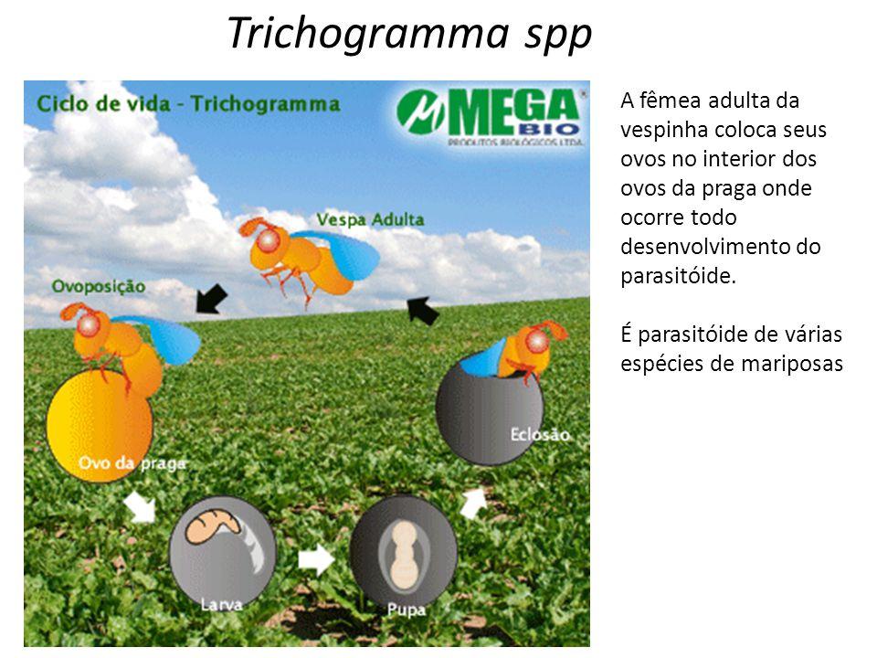 Trichogramma spp A fêmea adulta da vespinha coloca seus ovos no interior dos ovos da praga onde ocorre todo desenvolvimento do parasitóide.