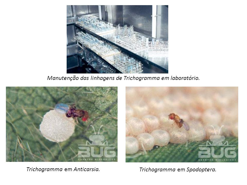 Manutenção das linhagens de Trichogramma em laboratório.