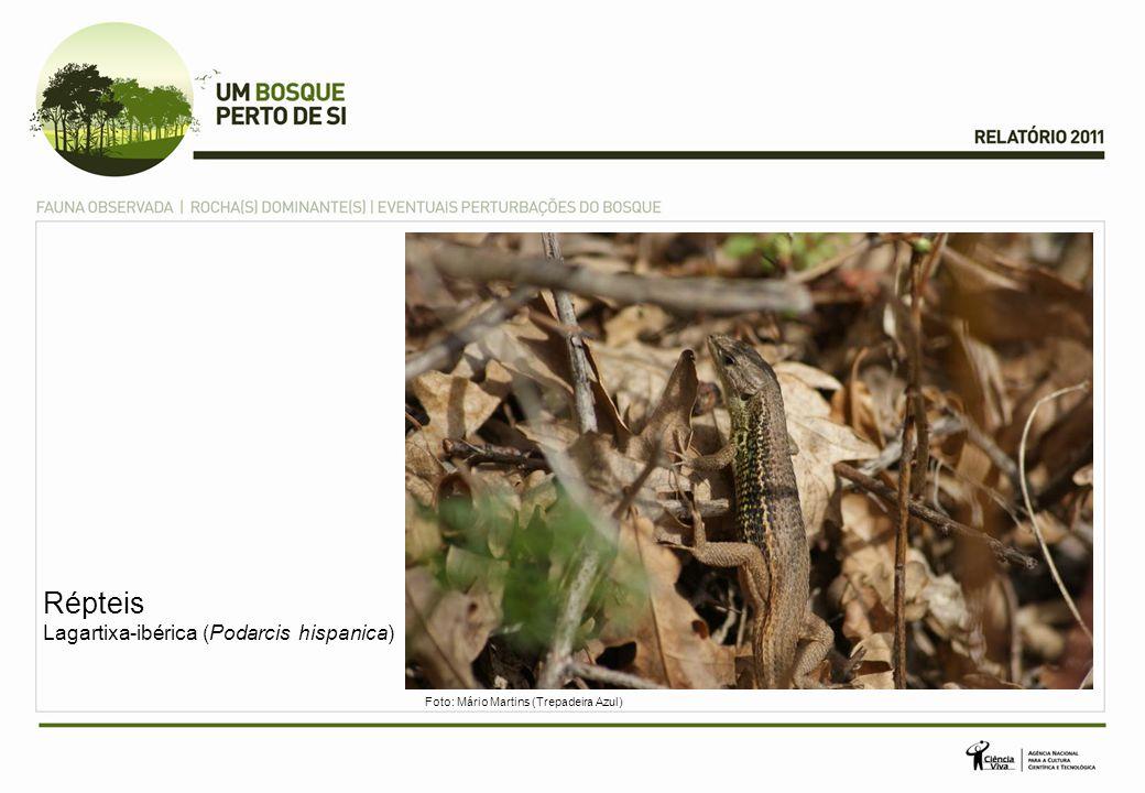 Répteis Lagartixa-ibérica (Podarcis hispanica)
