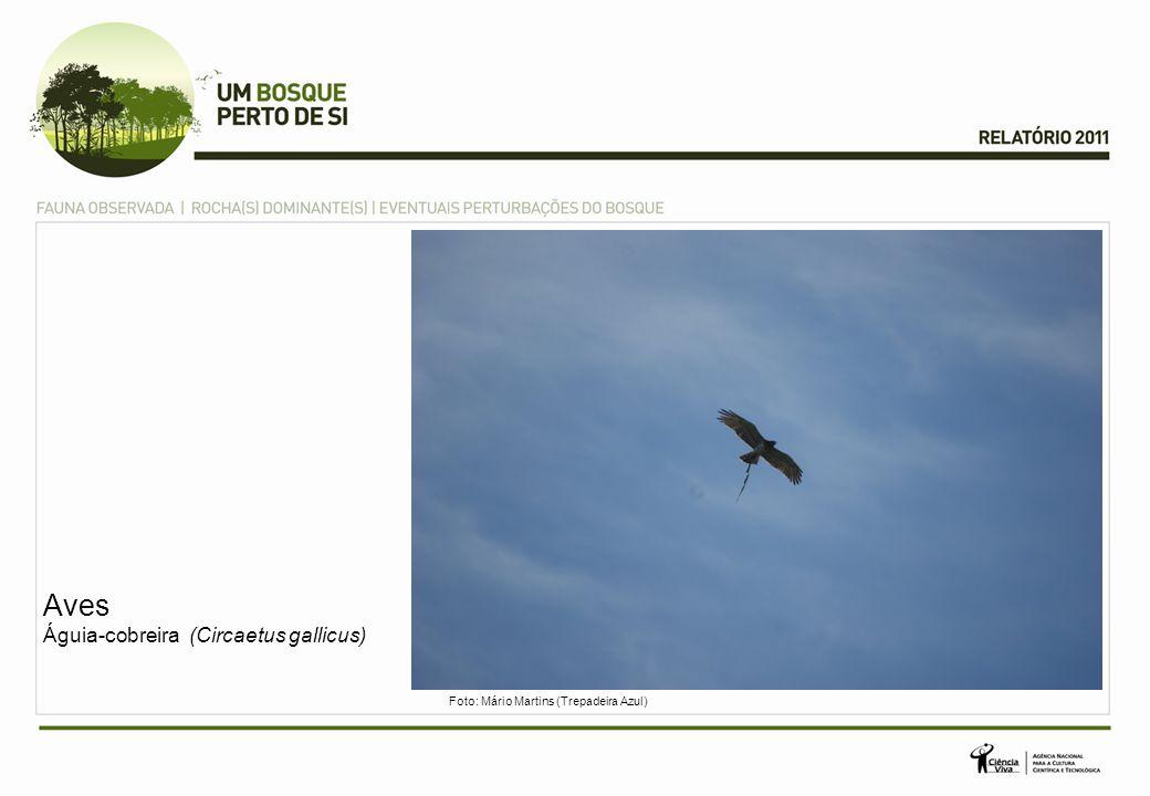 Aves Águia-cobreira (Circaetus gallicus)
