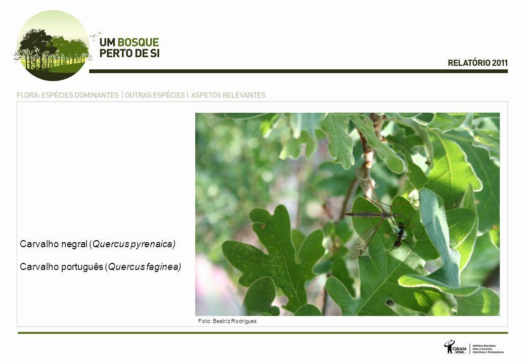 Carvalho negral (Quercus pyrenaica)