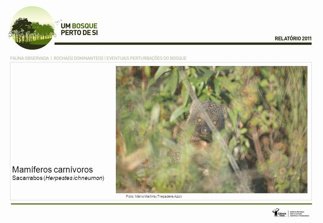 Mamíferos carnívoros Sacarrabos (Herpestes ichneumon)