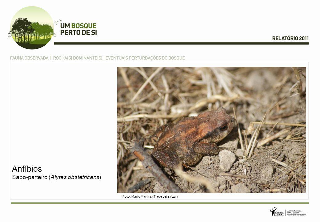 Anfíbios Sapo-parteiro (Alytes obstetricans)
