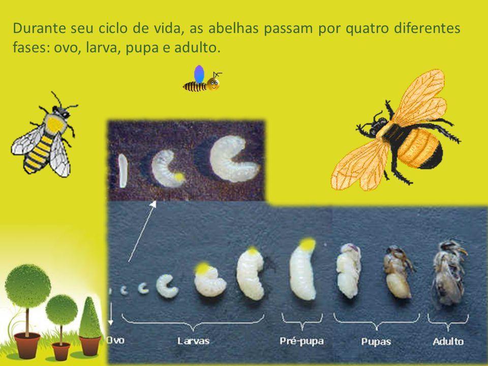 Durante seu ciclo de vida, as abelhas passam por quatro diferentes fases: ovo, larva, pupa e adulto.