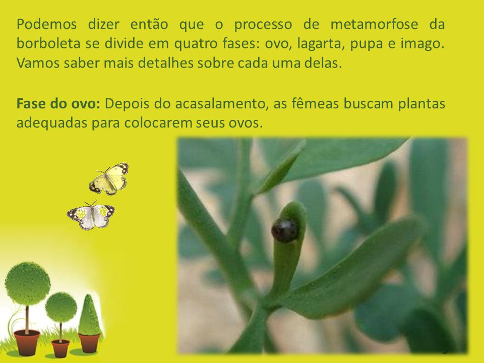 Podemos dizer então que o processo de metamorfose da borboleta se divide em quatro fases: ovo, lagarta, pupa e imago. Vamos saber mais detalhes sobre cada uma delas.