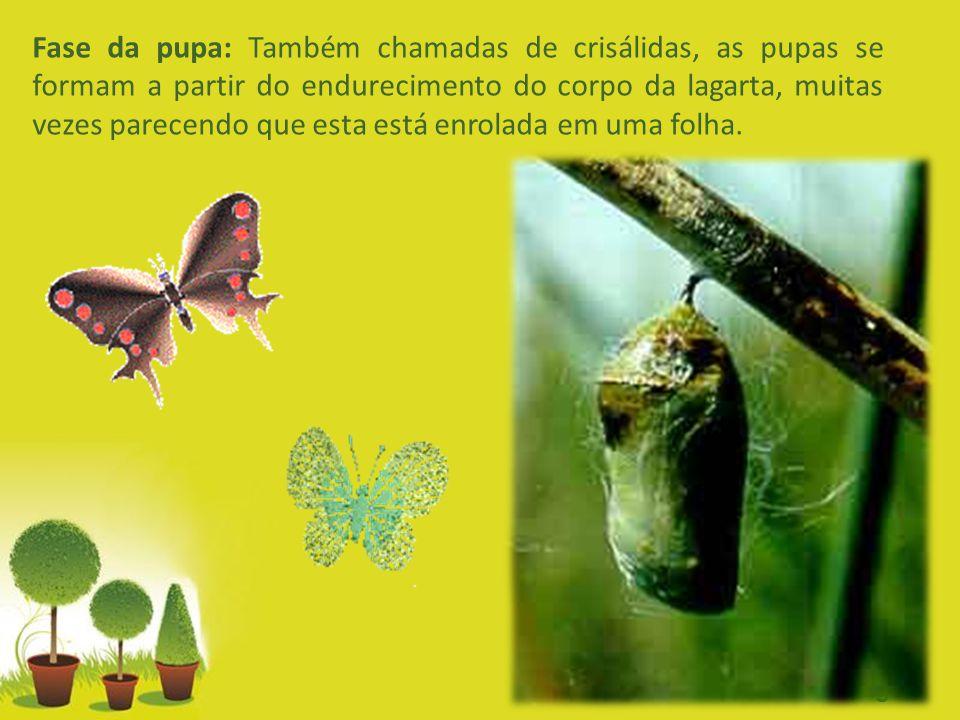 Fase da pupa: Também chamadas de crisálidas, as pupas se formam a partir do endurecimento do corpo da lagarta, muitas vezes parecendo que esta está enrolada em uma folha.