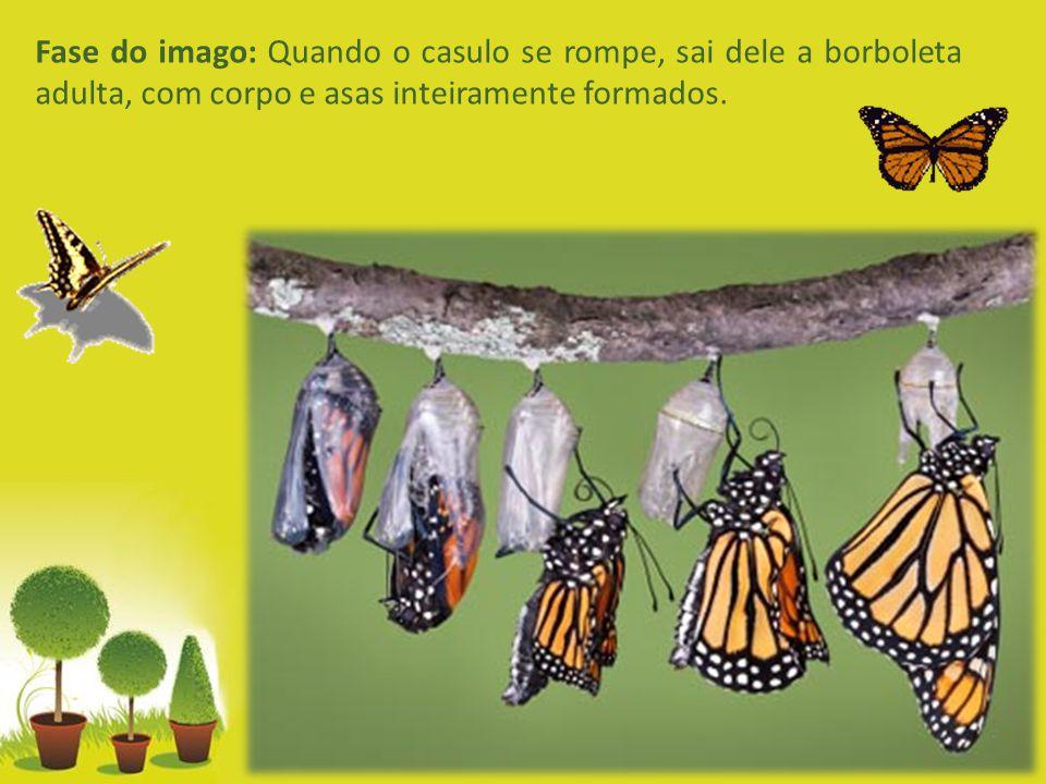 Fase do imago: Quando o casulo se rompe, sai dele a borboleta adulta, com corpo e asas inteiramente formados.