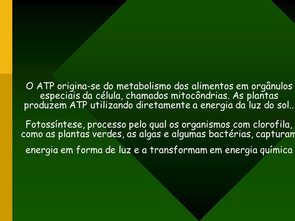 O ATP origina-se do metabolismo dos alimentos em orgânulos especiais da célula, chamados mitocôndrias.