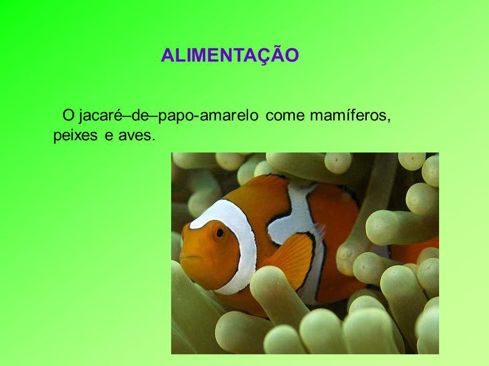 ALIMENTAÇÃO O jacaré–de–papo-amarelo come mamíferos, peixes e aves.