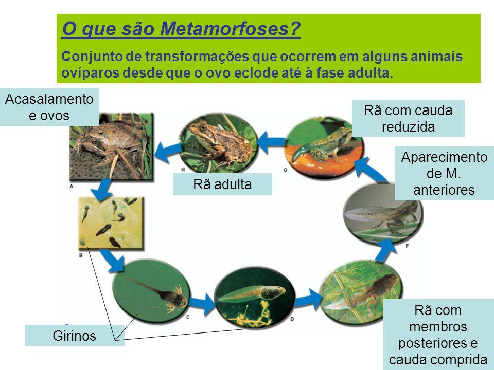 O que são Metamorfoses Conjunto de transformações que ocorrem em alguns animais ovíparos desde que o ovo eclode até à fase adulta.