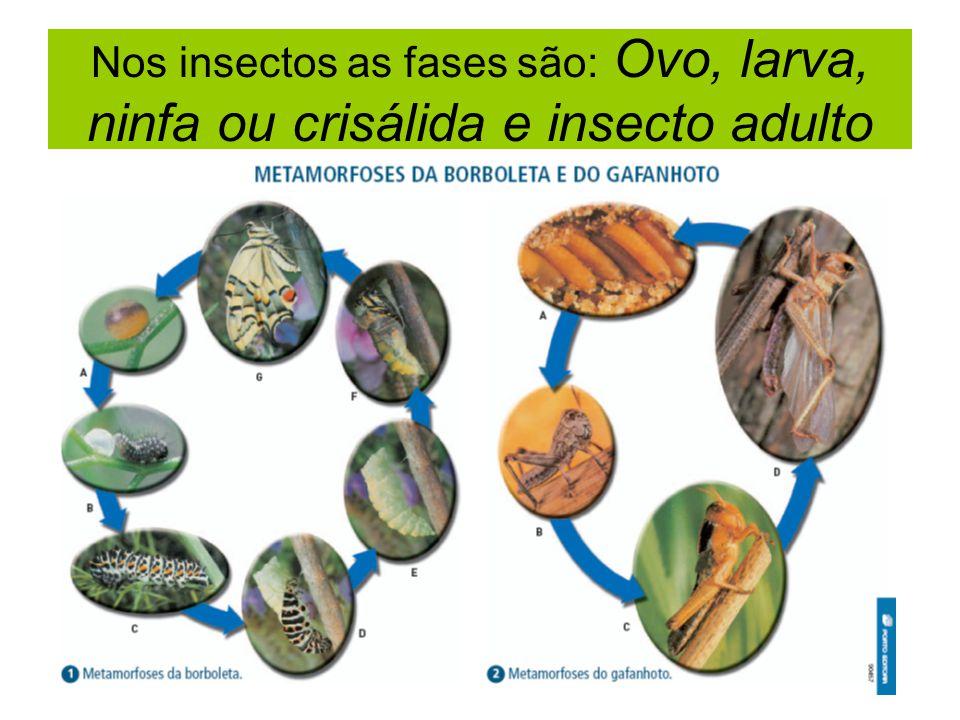 Nos insectos as fases são: Ovo, larva, ninfa ou crisálida e insecto adulto